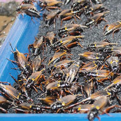 allevamento insetti rischi alimenti