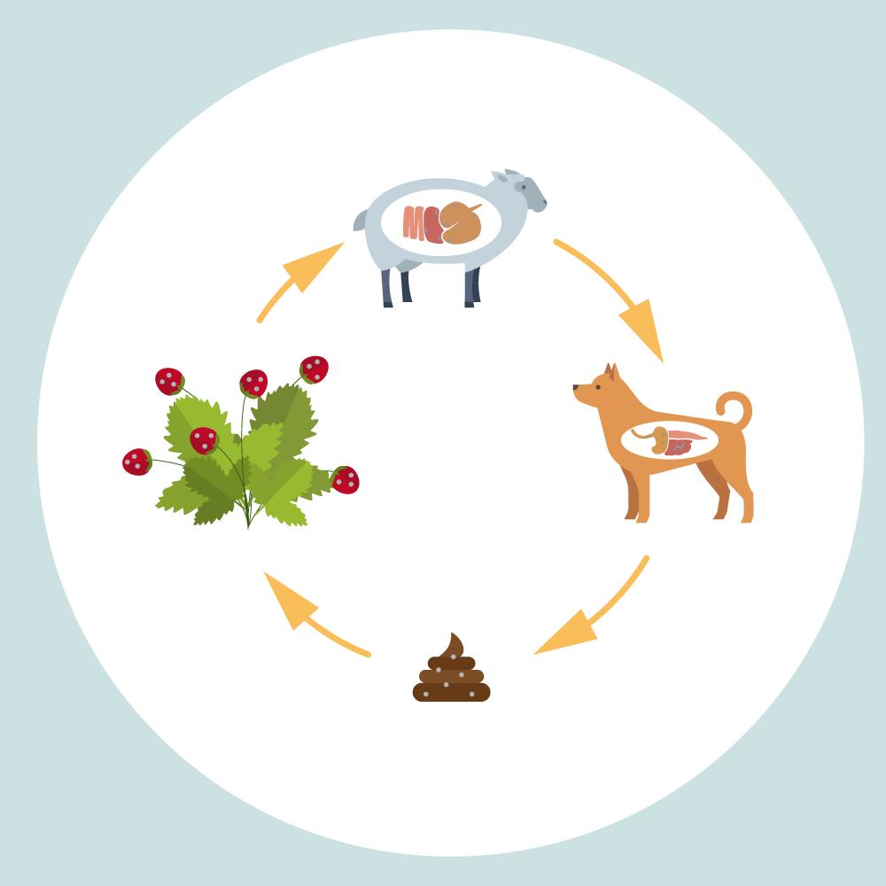 Ciclo di vita dell'echinoccocco