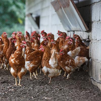 allevamento galline ovaiole